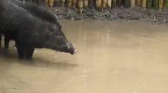 Seni Tradisional Buru Babi-Garut 061/2'15 - Anjing Pitbull 2