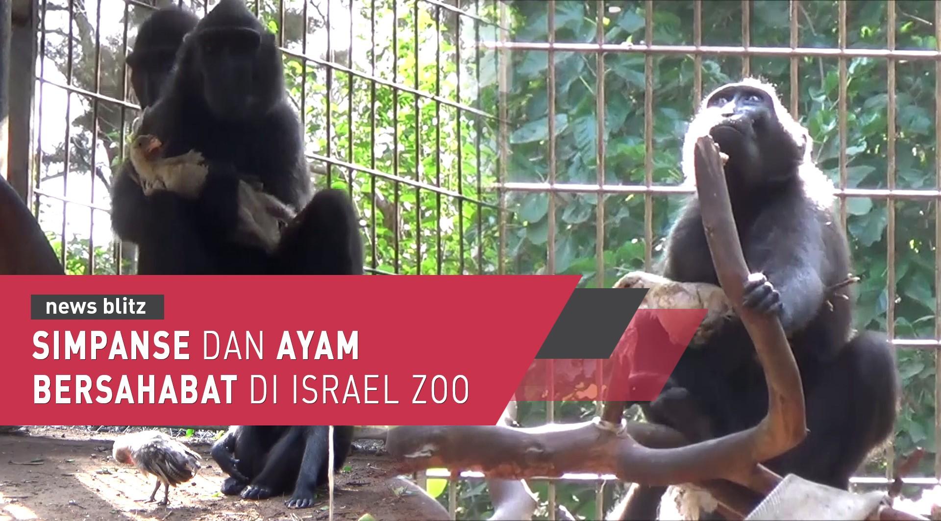 Simpanse Dan Ayam Bersahabat Di Israel Zoo
