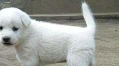 Anjing Kintamani Diakui Dunia