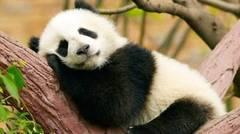 Mengapa Panda sangat Menggemaskan
