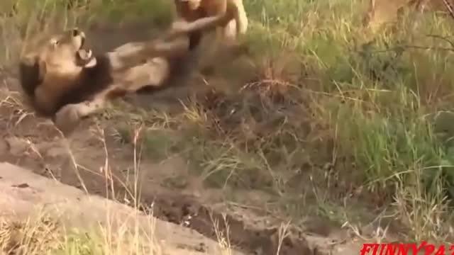 Singa Vs Singa Pertarungan Hingga Mati - Vidio com