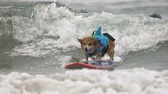 Anjing Ini Berselancar untuk Terapi Pemulihan dari Serangan yang Mengerikan, Sekarang Lihatlah Dia