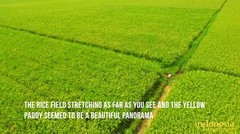Eksotisnya Lembor Rice Field di Kota Ruteng