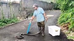 Teror Ular Kobra Di Musim Penghujan