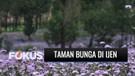 Cantiknya Taman Bunga Ala Pulau Jeju di Lereng Pegunungan Ijen