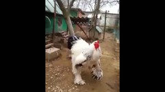 Wah Gede Banget Ayam Segede Gaban (Big Chicken In Action)