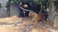 Hebat! Orang Ini Berani Memandikan Harimau