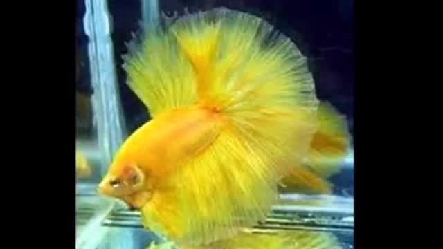 Unduh 10100+ Gambar Ikan Cupang Paling Cantik HD Terbaru