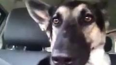 Lucunya Goyangan Kuping Anjing Ini