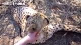Gajah Vs Singa Pertarungan Hingga Tewas - Vidio com