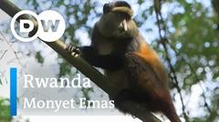 DW Going Wild 19 - Rwanda_Monyet Emas