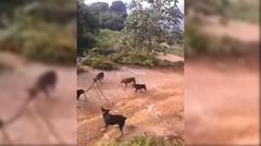 5 anjing pintar menggunakan taktik untuk mengalahkan seekor king cobra