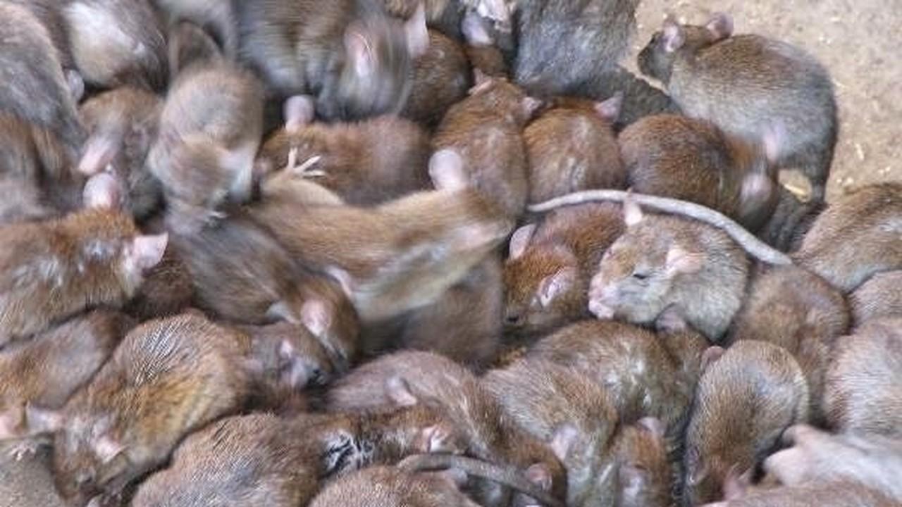 Streaming Mengerikan Saat Ribuan Tikus Bersarang Di Dalam Rumah Vidio Com