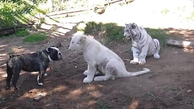 Anjing Pitbull Vs Macan Dan Harimau - Vidio com