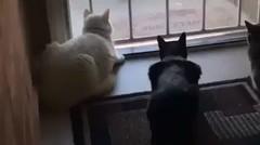 Video Lucu Kucing Fokus dengan Temannya