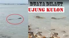 Warga digegerkan oleh sosok buaya laut di daerah ujung kulon