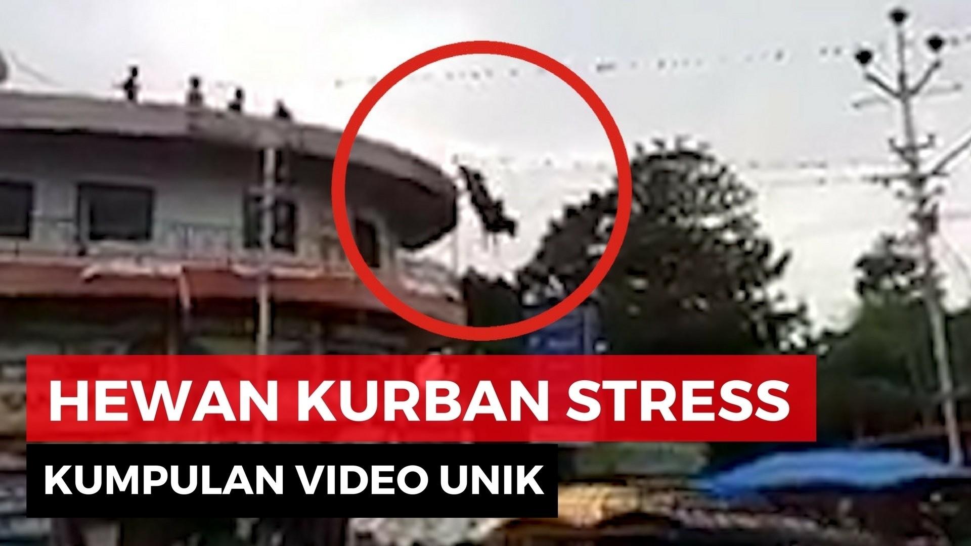 Video Lucu Kambing dan Sapi Stress