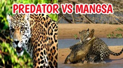Ganas !! Pertarungan  Predator VS Mangsa