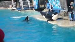 atraksi lumba lumba ini sungguh menarik