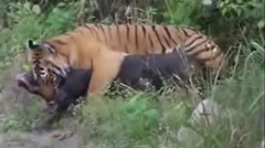 Tiger attack wild Boar fighting LIVE - Jim Corbett National Park, Ramnagar
