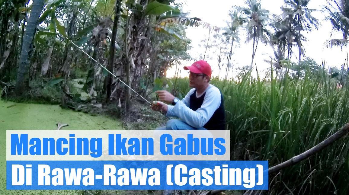 Download 66+ Gambar Ikan Gabus Rawa HD Terbaik