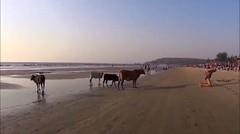 Gerombolan sapi menghampiri para wisatawan di pinggir pantai