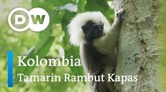 DW Going Wild 14 - Kolombia_Tamarin Rambut Kapas