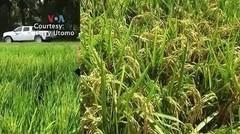 Susah Nggak Ya- Diaspora Indonesia di AS Temukan Beras Protein Tinggi