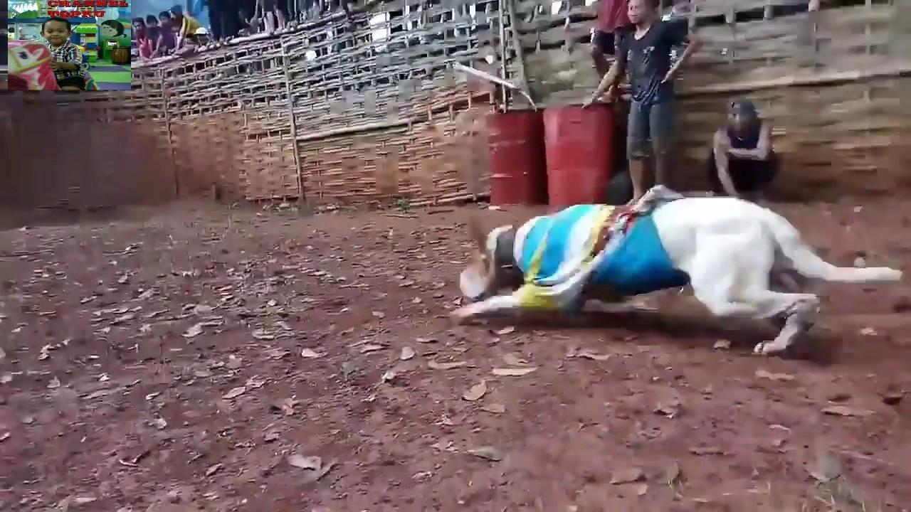 87 Gambar Adu Babi Paling Hist