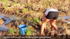 Kegiatan Gadis Desa Di Sore Hari Berburu Ikan Gabus Di Sawah