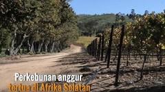 Cicipi Wine dari Kebun Anggur Tertua di Afrika Selatan, Groot Constantia