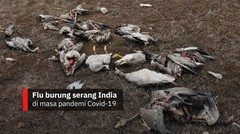 Flu burung serang India di masa pandemi Covid-19