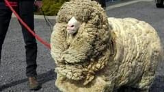 Kisah Domba Legendaris