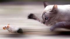 Berburu tikus    Tikusnya lincah