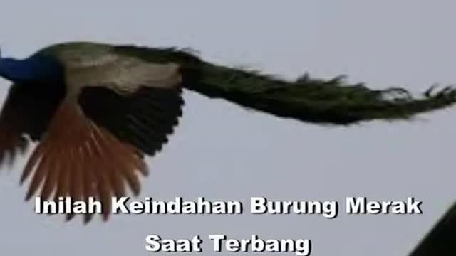 83 Koleksi Gambar Burung Merak Terbang Gratis Terbaru