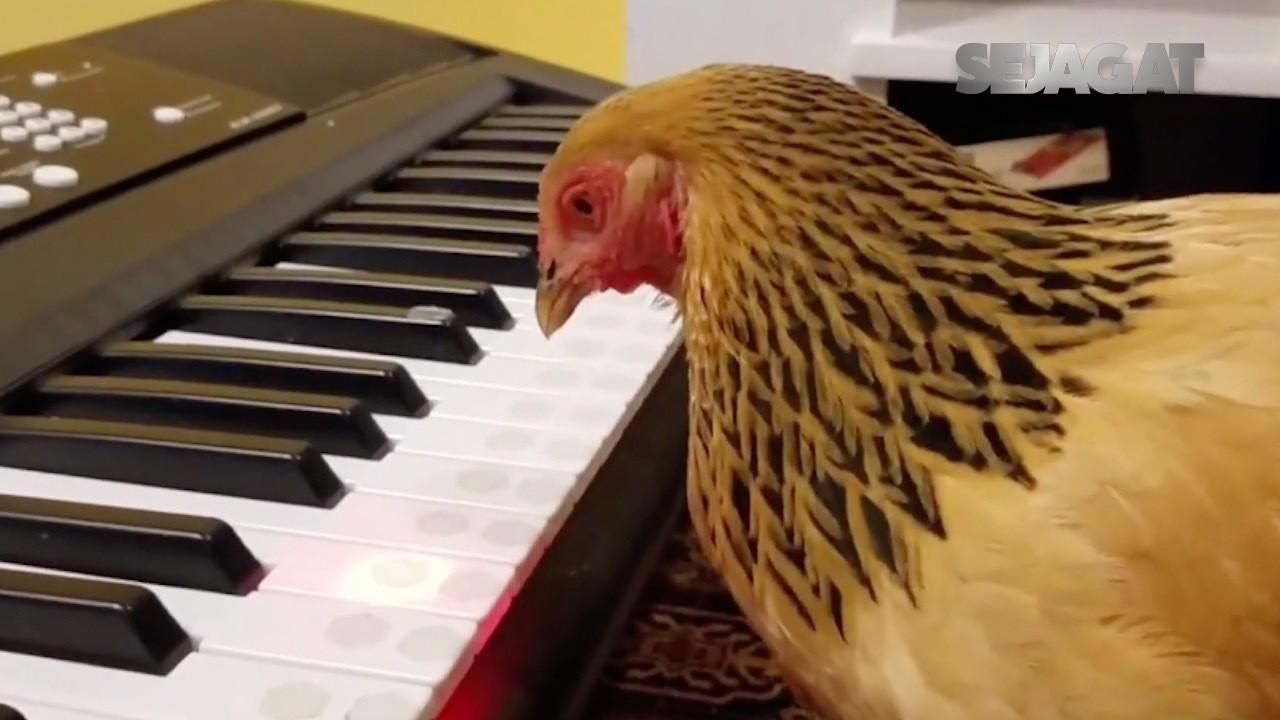SEJAGAT Aksi Lucu Seekor Ayam Bermain Keyboard