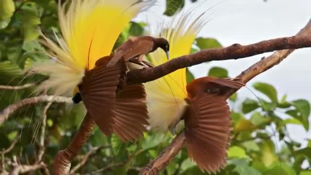 780+ Gambar Burung Cendrawasih Cantik HD Terbaru
