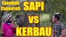 EPEN CUPEN SAPI VS KERBAU