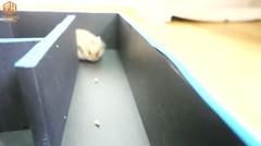 Lucunya Hamster Bermain Di Labirin Ala Pacman