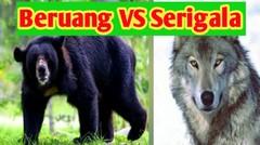Beruang VS Serigala Berebut Makanan