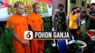 Dua Pria di Magelang Ditangkap, Belajar Tanam Ganja dari Instagram