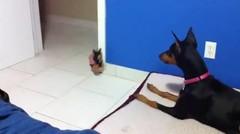 Lucu Anjing Yang Takut Boneka