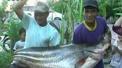 Mancing Ikan Tapah Raksasa di Sungai Sampit Kalimantan Tengah