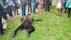 Beruang Besar Terpaksa Ditembak Setelah Tersesat di Pemukiman Warga