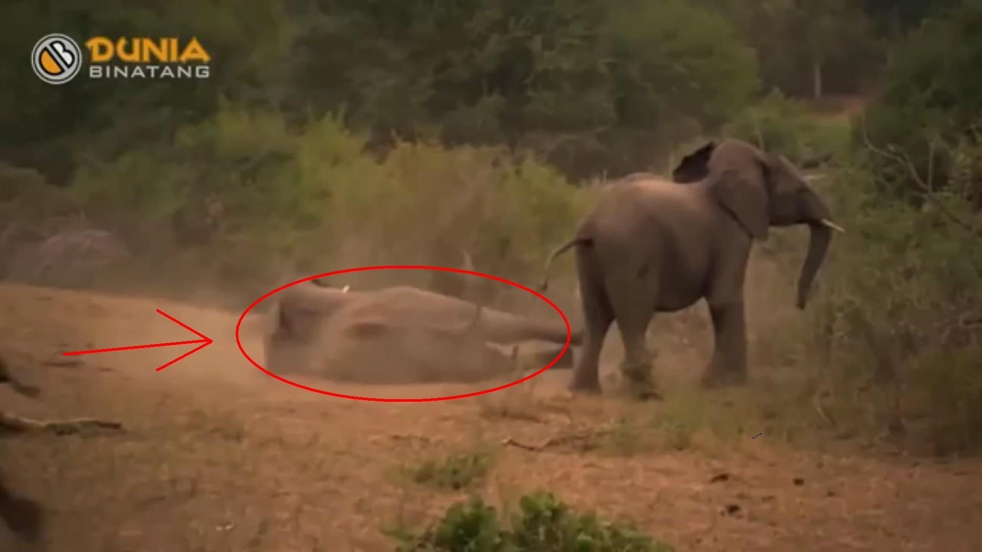 Lucu Ban Adegan Gajah Kawin Tapi Gagal Yang Bikin Ngakak Wkwkw