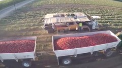 Proses Panen Tomat Super Cepat Dengan Alat Canggih Luar Biasa