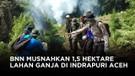 BNN dan TNI Temukan 8 Hektare Ladang Ganja Di Mandailing Natal Sumatera Utara