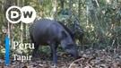DW Going Wild 20 - Peru_Tapir