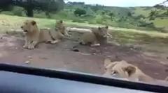 Yang Dilakukan Singa Ini Bisa Bikin Kamu Jantungan