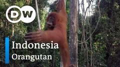 DW Going Wild 11 - Indonesia_Orangutan